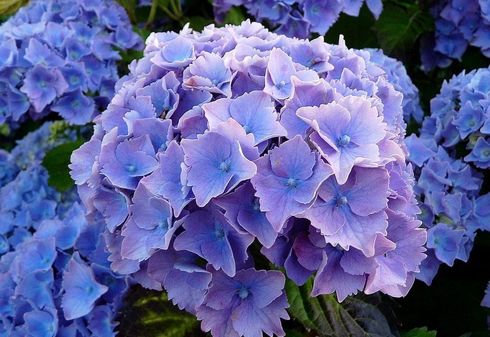 Hortensias de color azul im genes y fotos - Cuidado de las hortensias ...