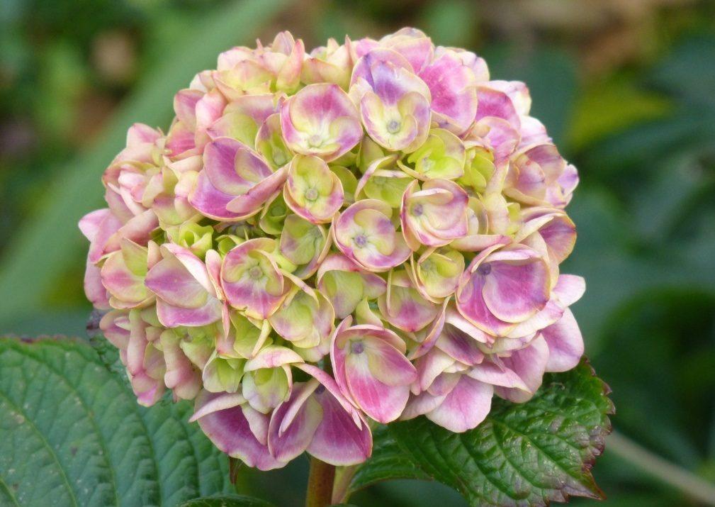 Hortensias De Colores Imagenes Y Fotos - Color-de-las-hortensias