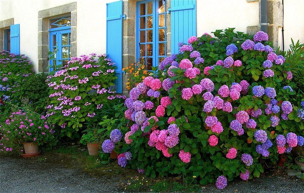 Jard n de hortensias de colores im genes y fotos - Cuidado de las hortensias ...